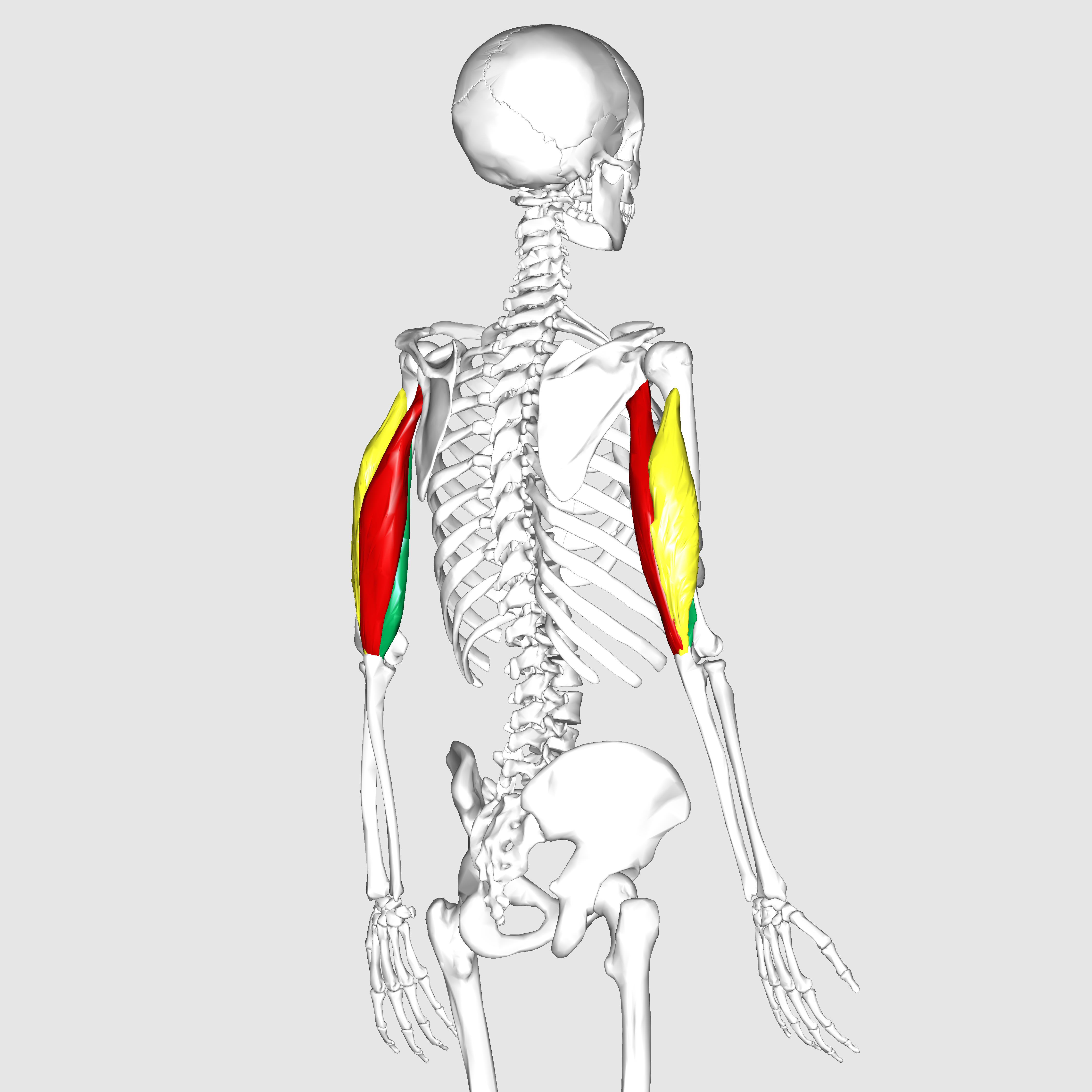 Filetriceps Brachii Muscle02g Wikimedia Commons