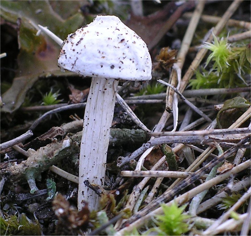 berłóweczka czeska (Tulostoma kotlabae)