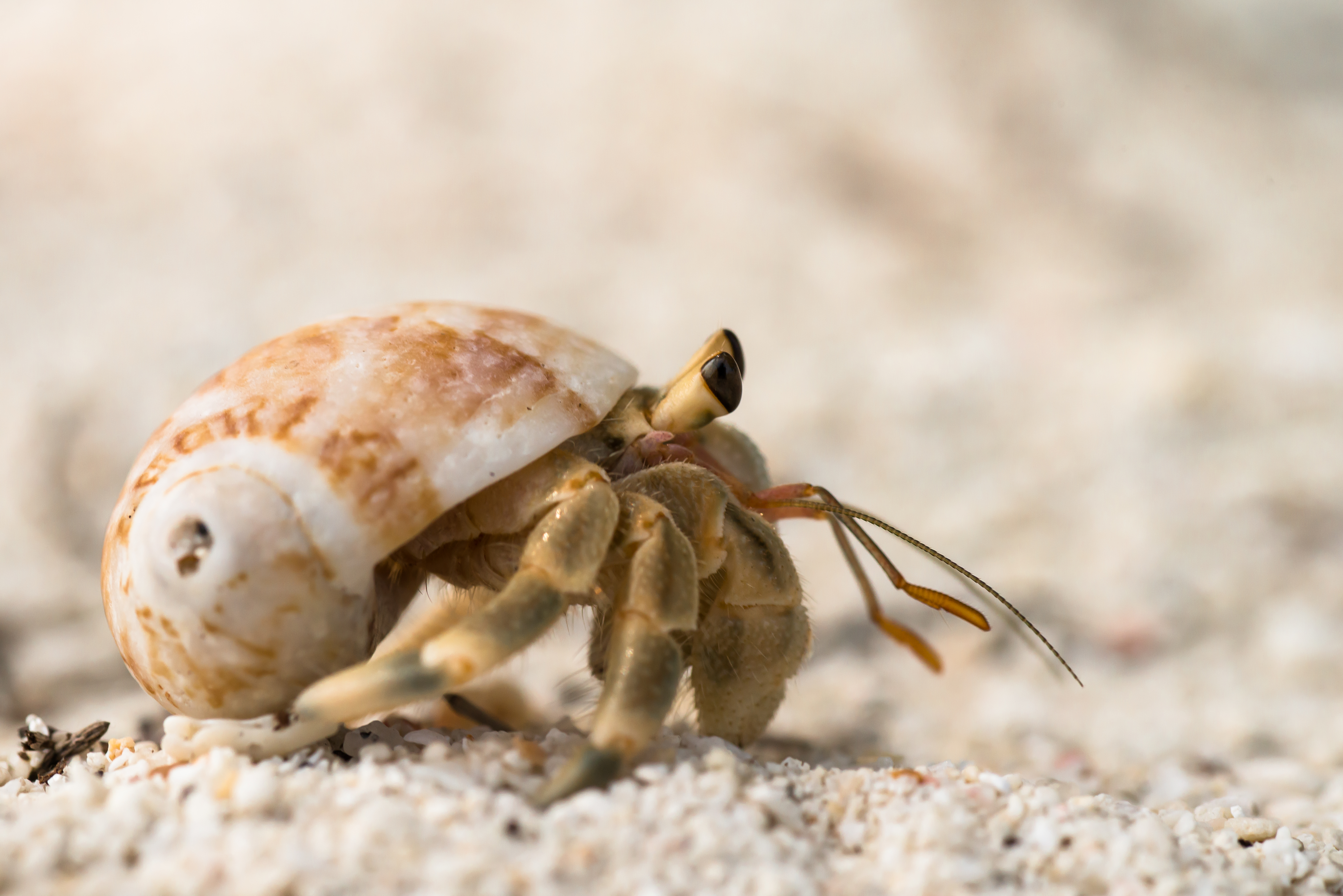 File Unidentified Hermit Crab By Rushen Jpg Wikimedia Commons