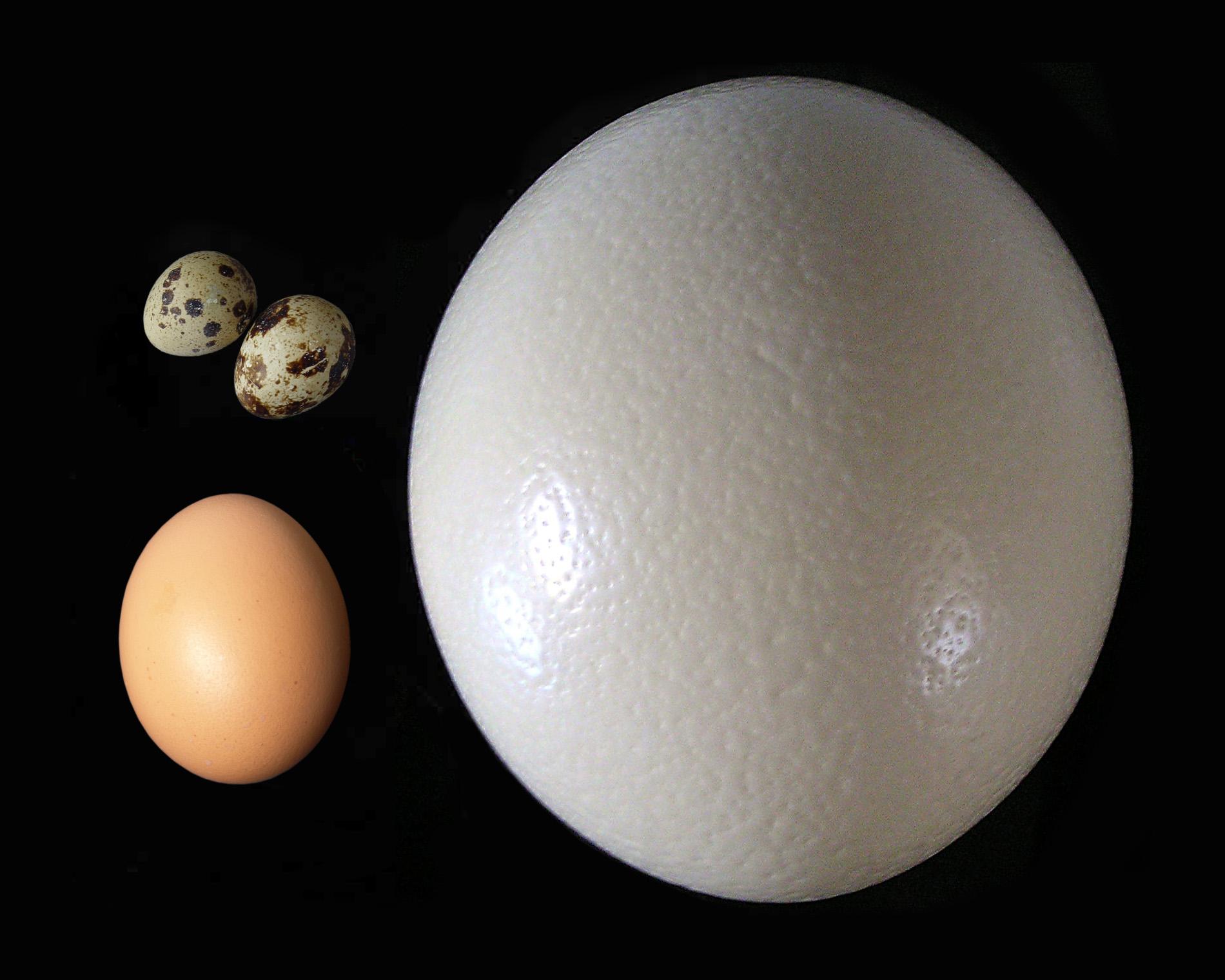Egg (biology) - Simple English Wikipedia, the free encyclopedia