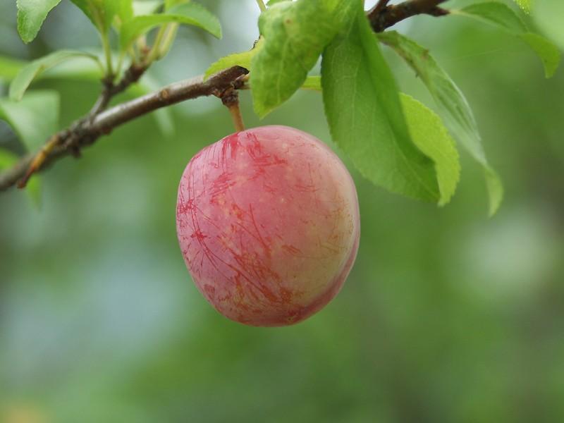 fruit du prunier japonais rond et couvert de pruine