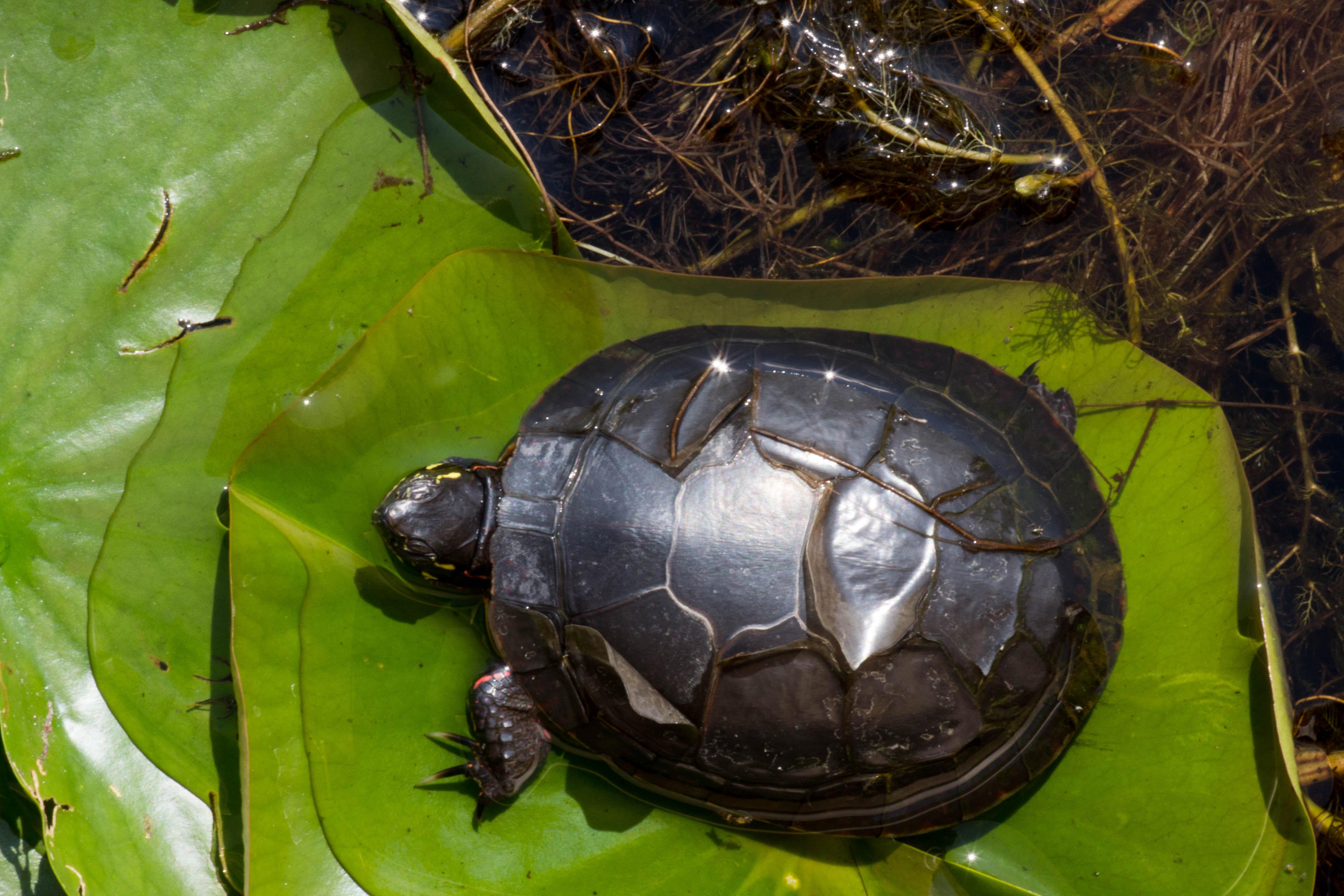 Turtle shell - Wikipedia