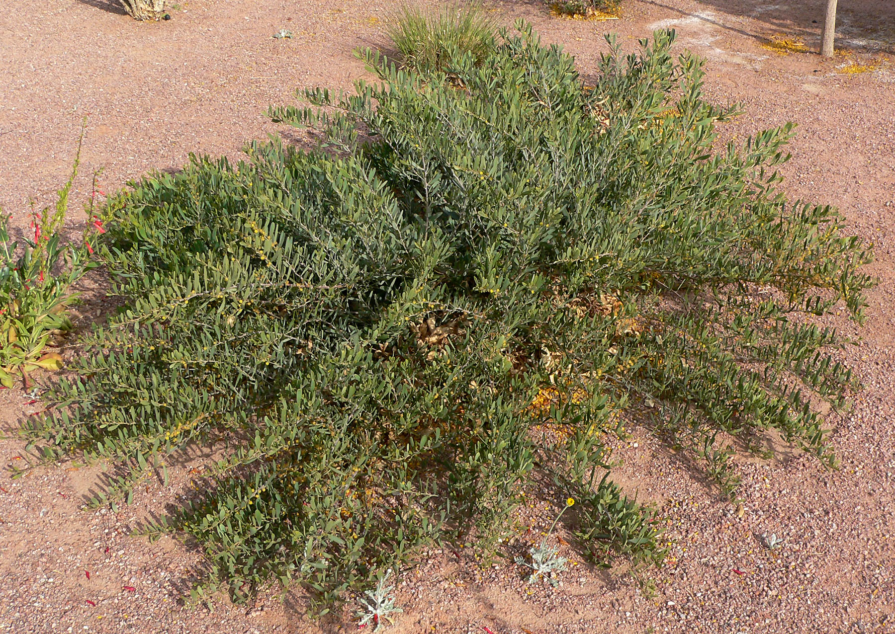 Acacia Redolens Wikimedia Commons