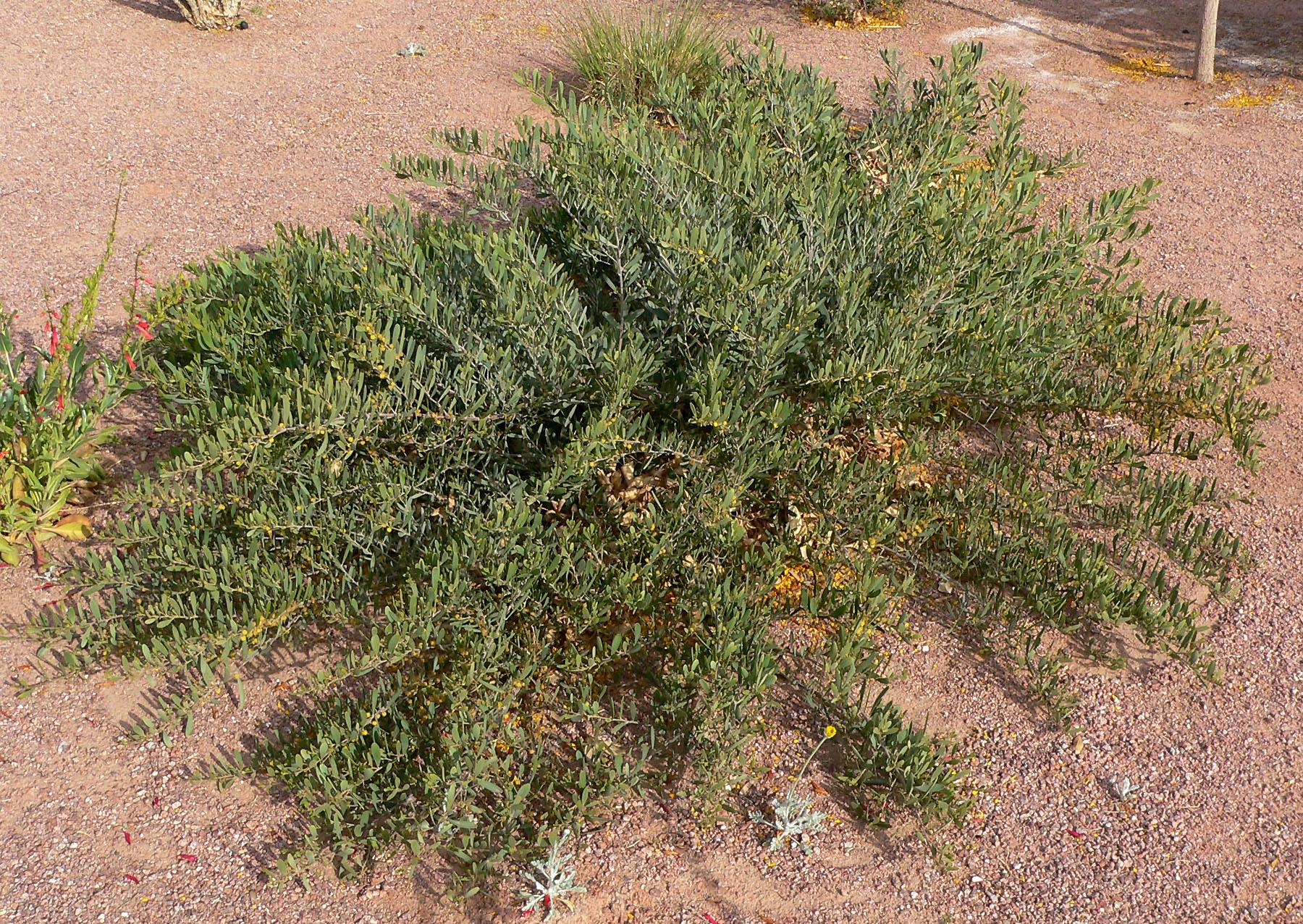 Acacia Redolens Wikipedia