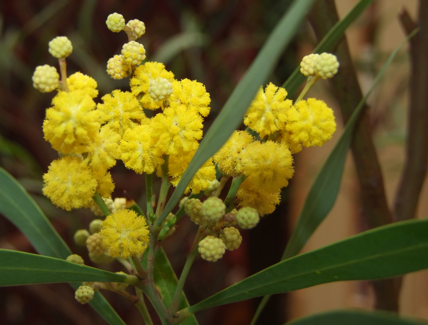 File:Acacia retinodes MucBotGard.jpg - Wikimedia Commons