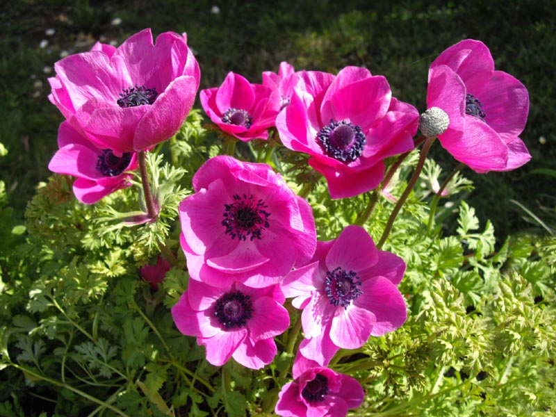 file anemone coronaria 39 sylphide 39 wikimedia commons. Black Bedroom Furniture Sets. Home Design Ideas