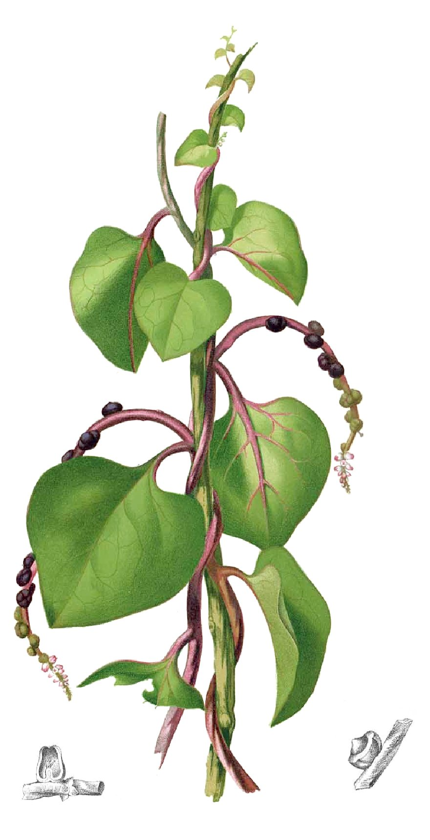 Spinat 20 Samen Roter Malabarspinat Basella rubra