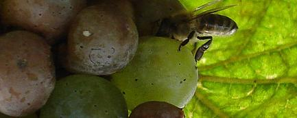 File:Bee on a grape.jpg