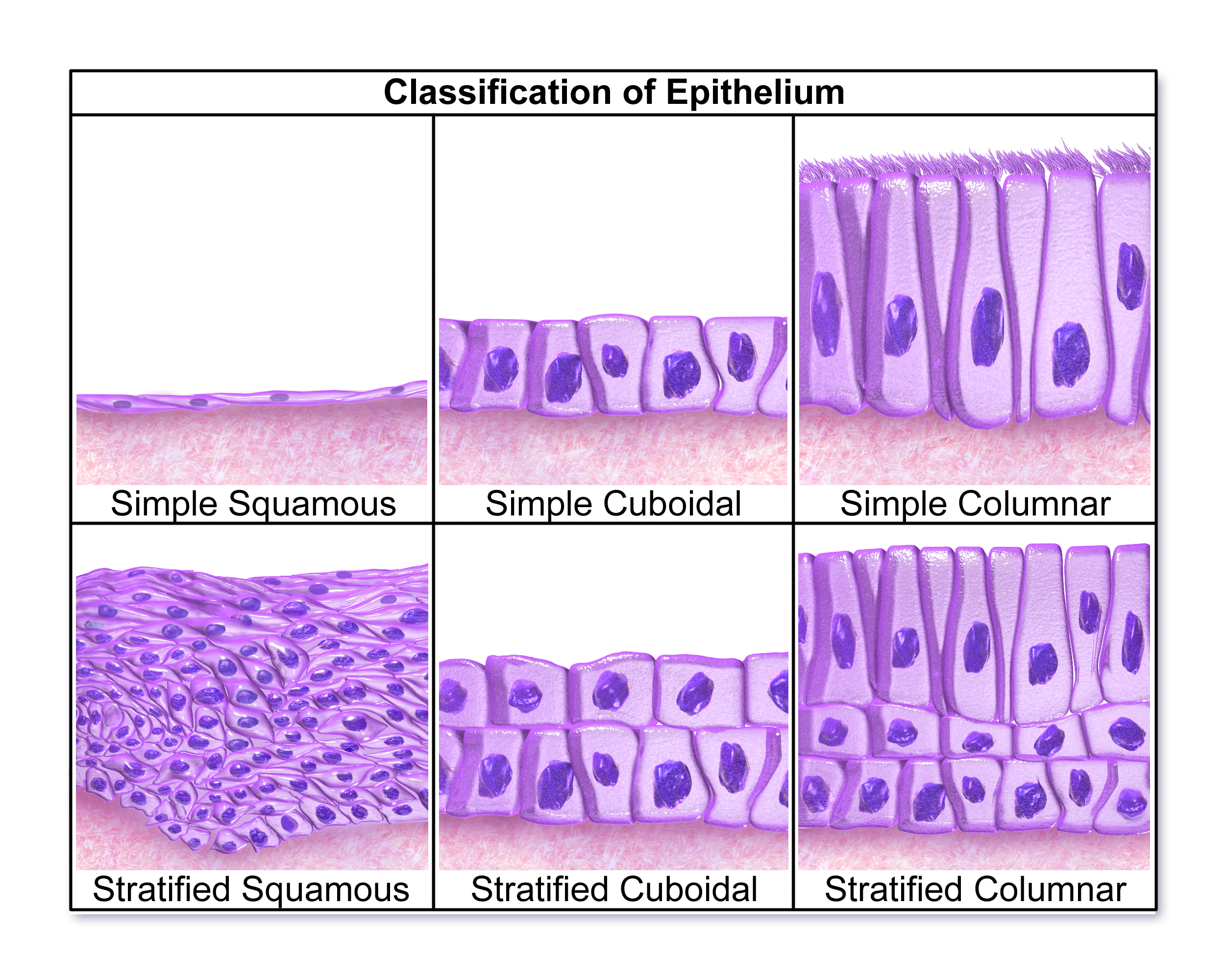 epithelium tissue Looking for epithelial tissue find out information about epithelial tissue sheet of tissue that covers or lines the external and internal body surfaces the.