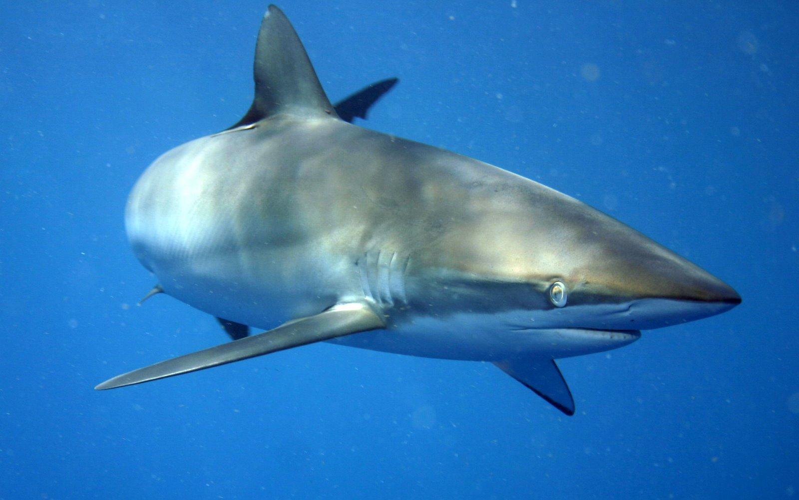 Silky Sharks, Carcharhinus falciformis ~ MarineBio.org