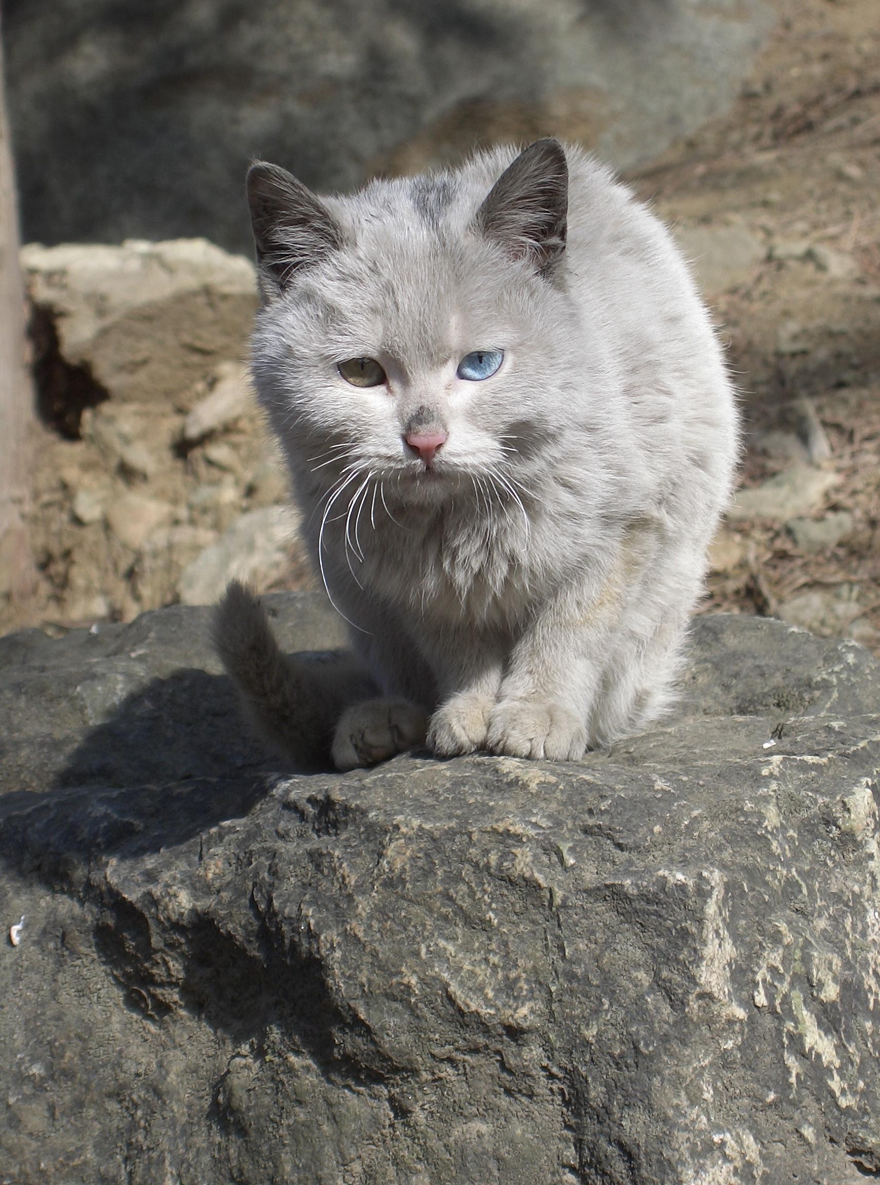 White Blue Cat Commander
