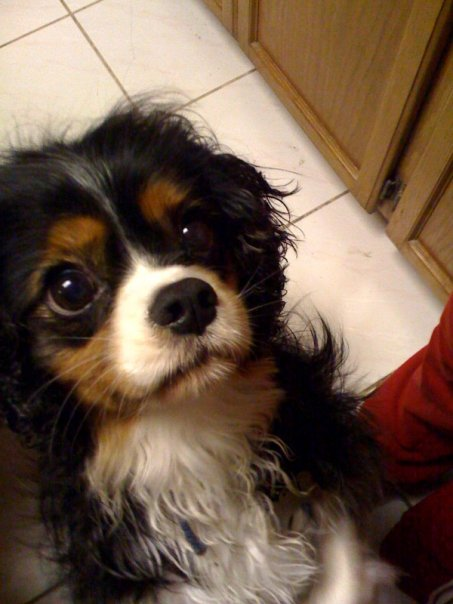 Cavalier King Charles Spaniel Dogs For Sale Near Me