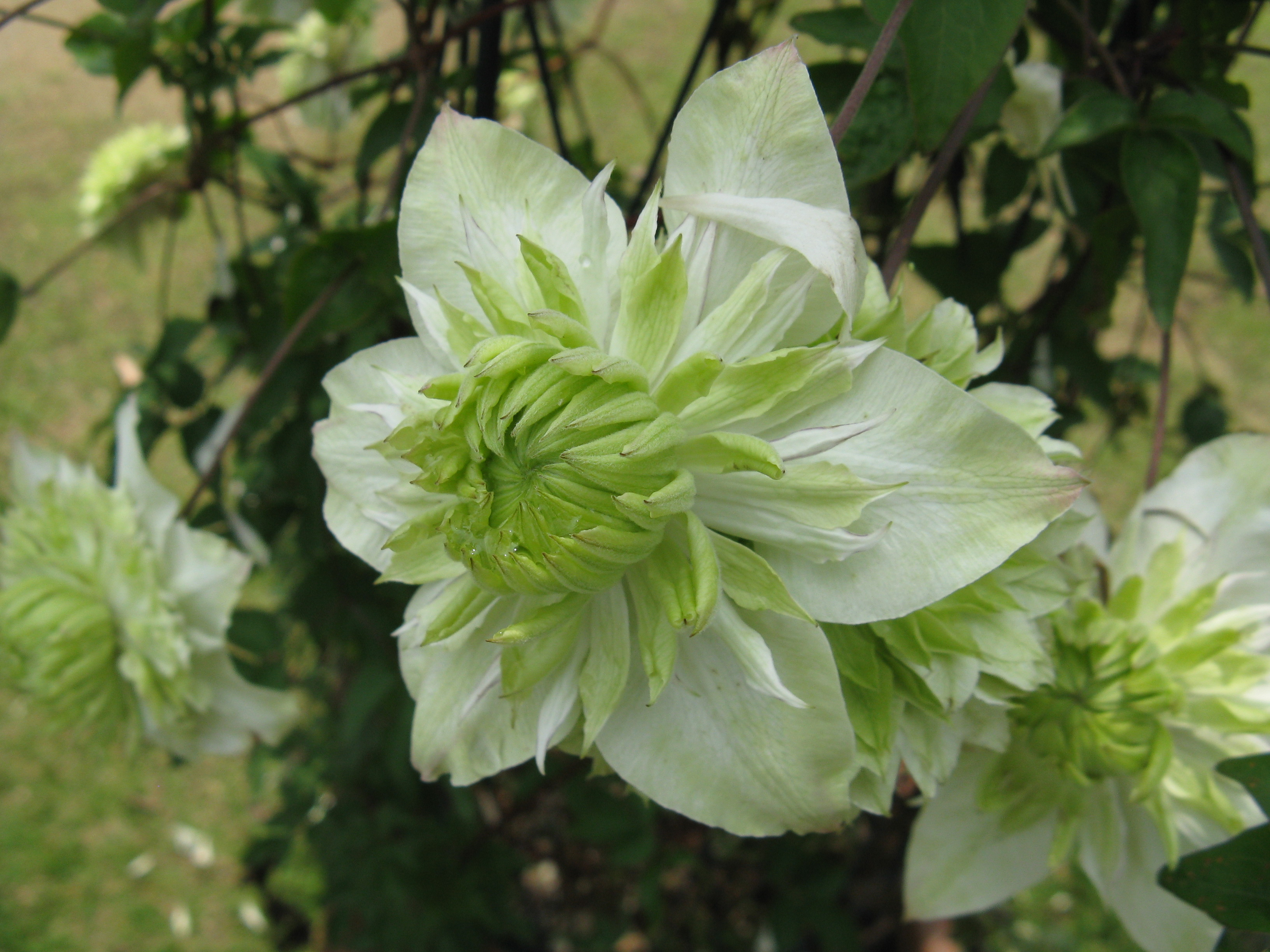 File clematis florida 39 alba plena 39 wikimedia commons for Clematis florida