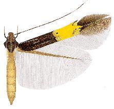 Cosmopterix lysithea.JPG