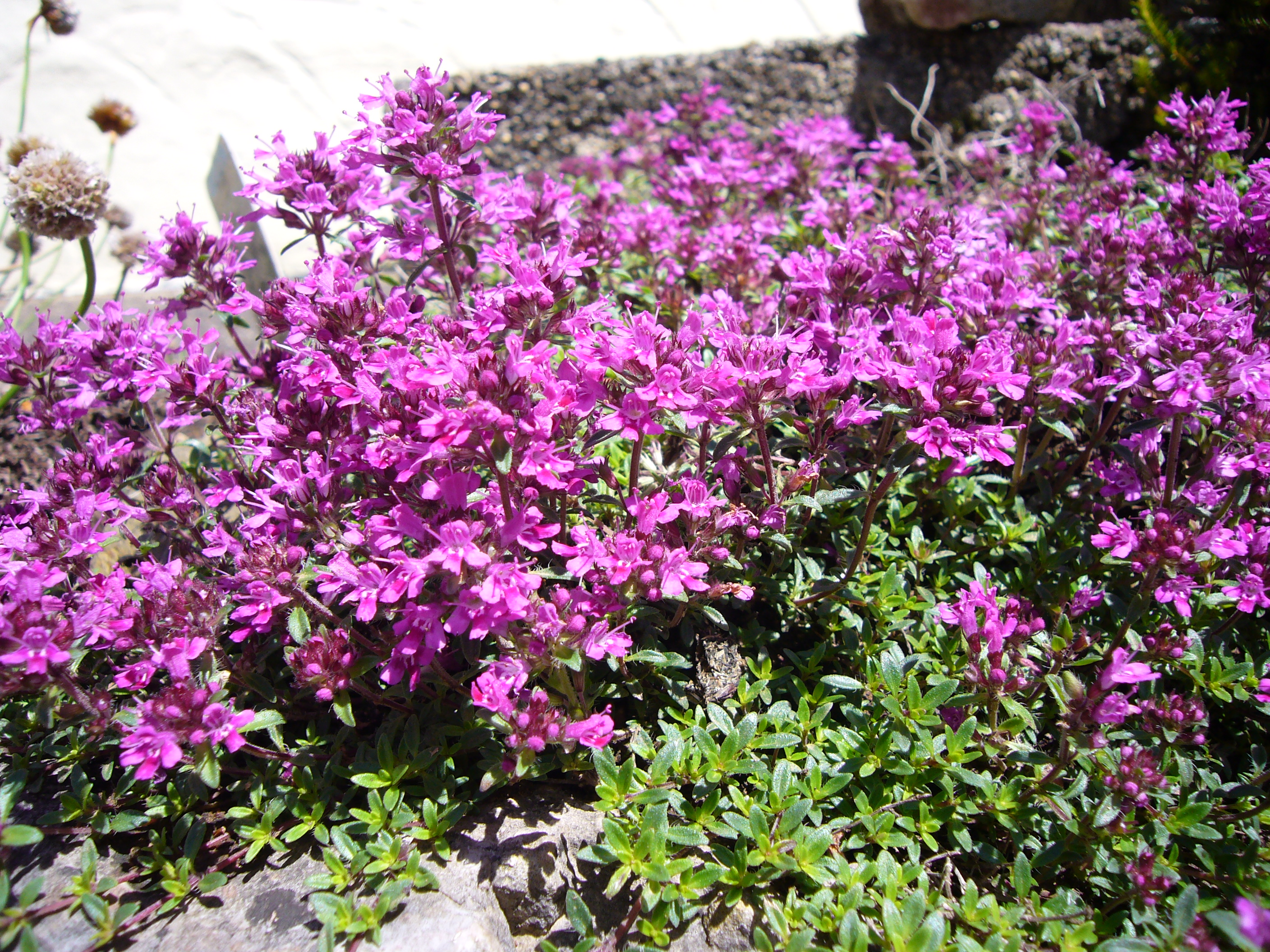 File Creeping Red Thyme Jpg Wikimedia Commons