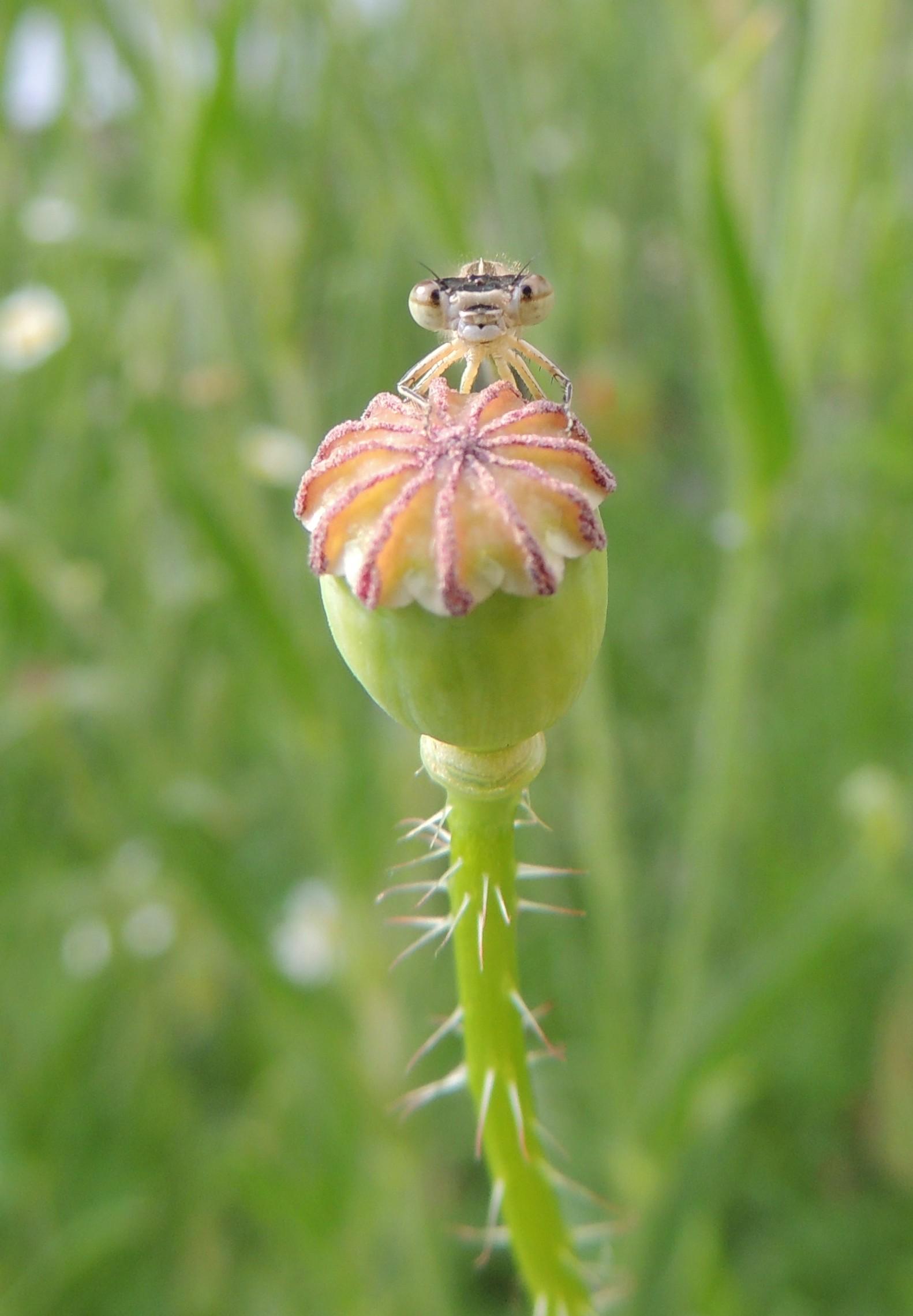 Filedamselfly On A Poppy Seed Pod Sandy Bedfordshire 14459158976