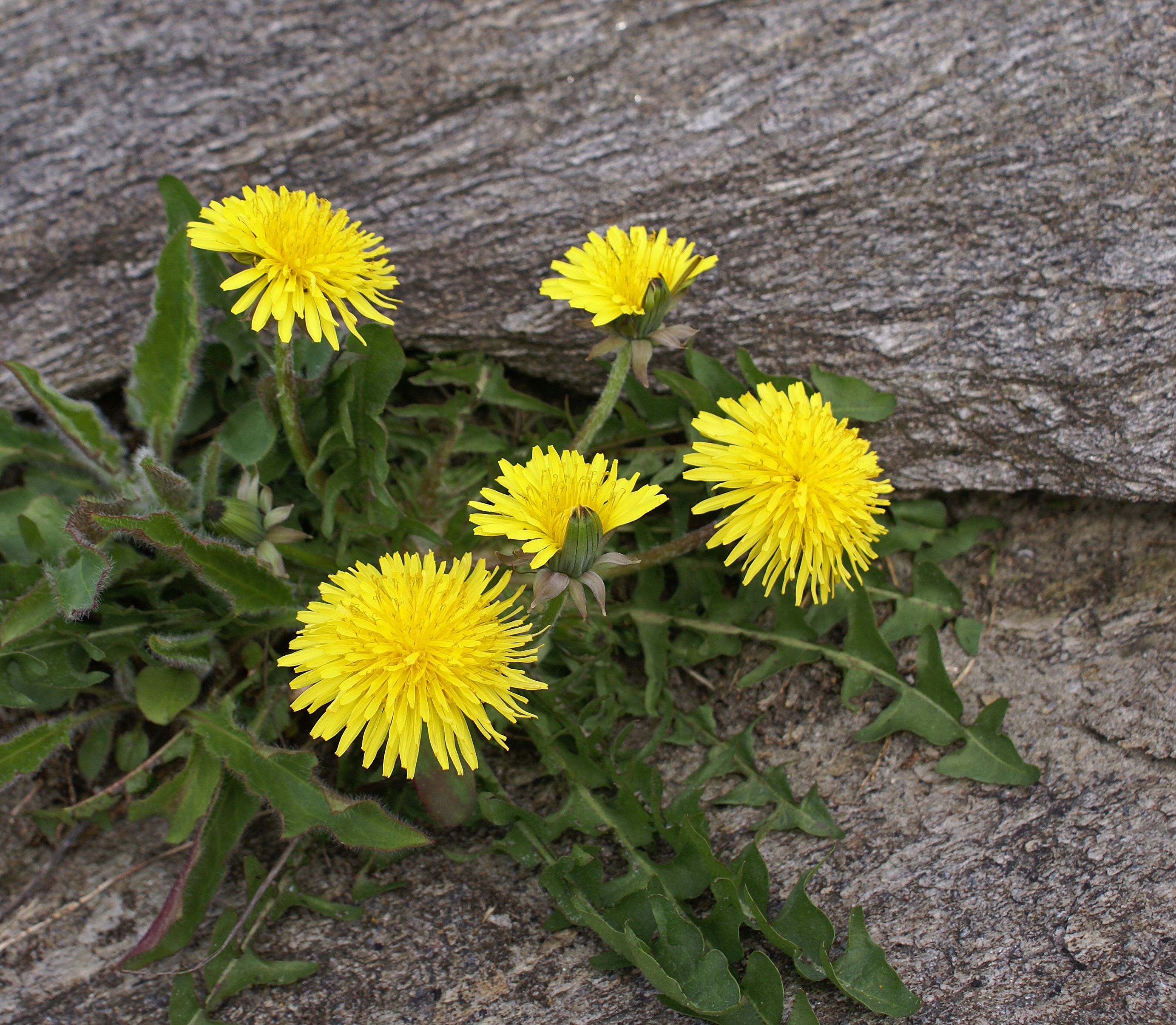 Taraxacum officinale, By Randi Hausken from Bærum, Norway (Dandelion  Uploaded by russavia) [CC BY-SA 2.0 (http://creativecommons.org/licenses/by-sa/2.0)], via Wikimedia Commons