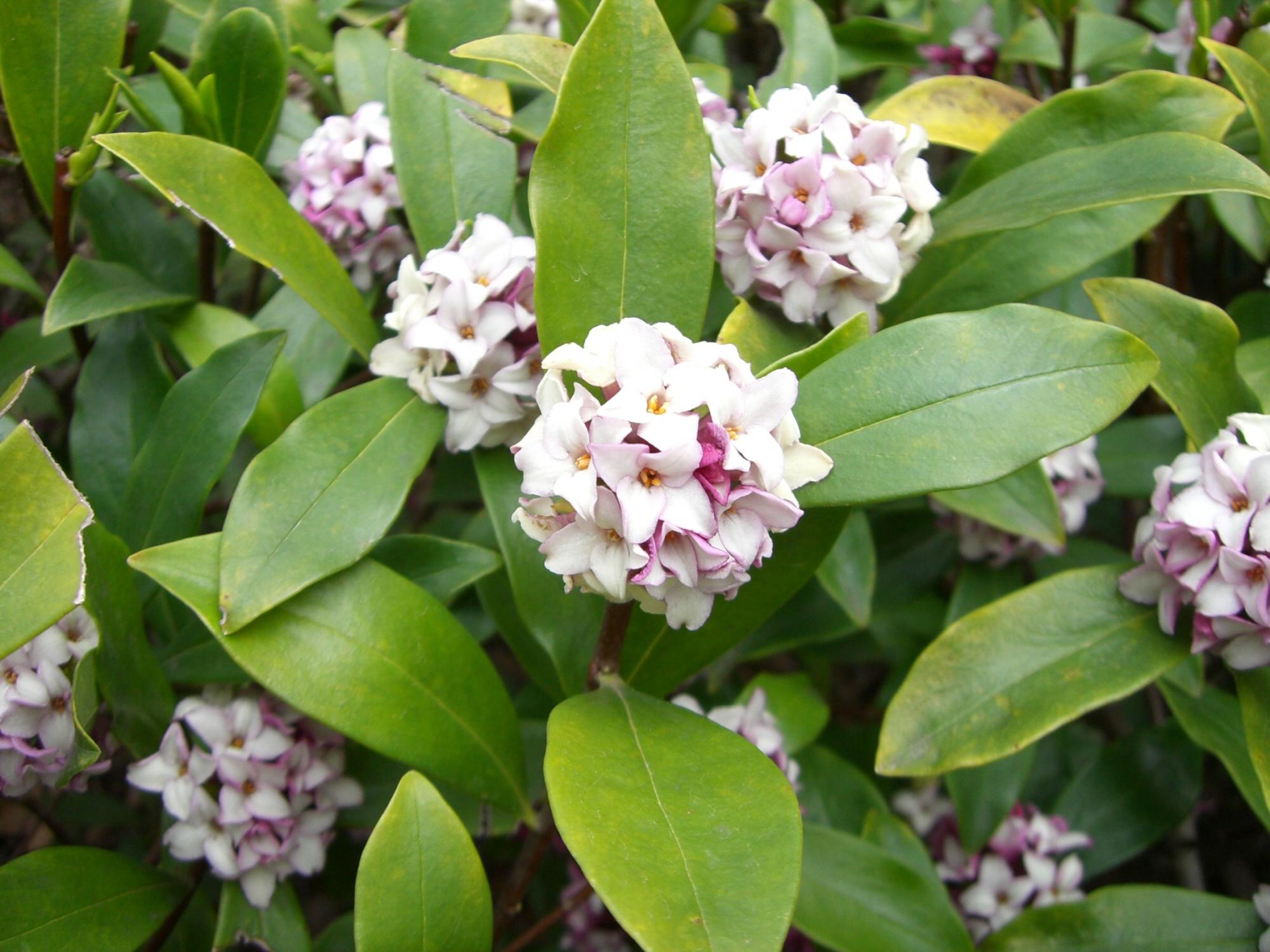 Image result for daphne odora
