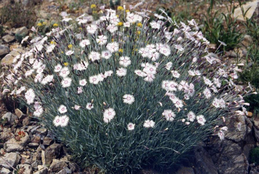 File:Dianthus plumarius.jpg - Wikimedia Commons