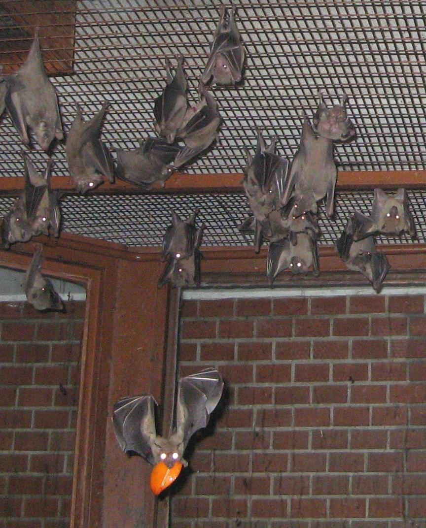 Egyptian Fruit Bat Simple English Wikipedia The Free