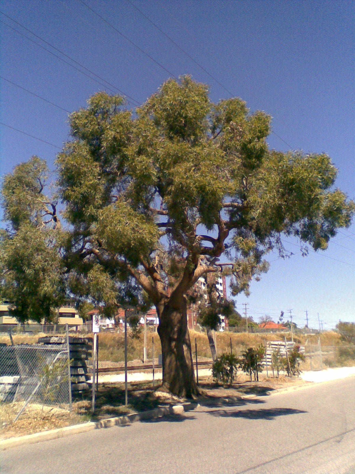 Eucalyptus Todtiana Wikipedia