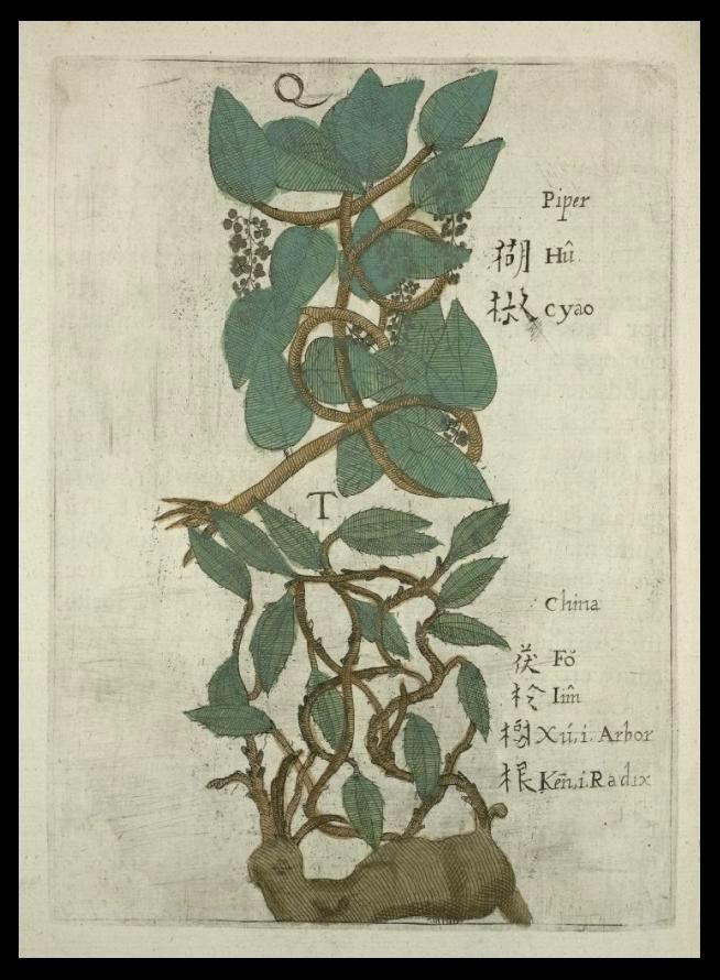 十七世纪波兰籍天主教耶稣会来华传教士卜弥格著作《Flora Sinensis》(译:中国植物志)笔下的胡椒与茯苓树根。