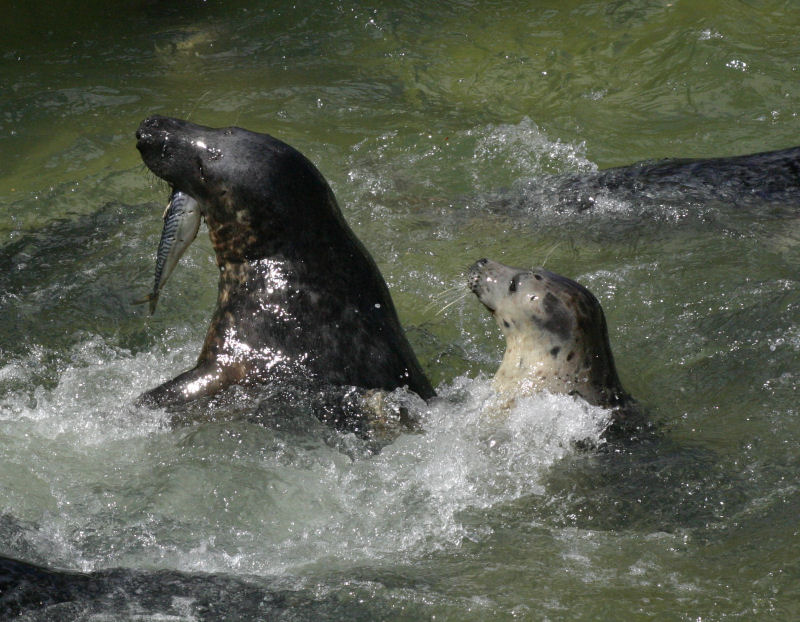 Cornish Seal Sanctuary - Wikipedia