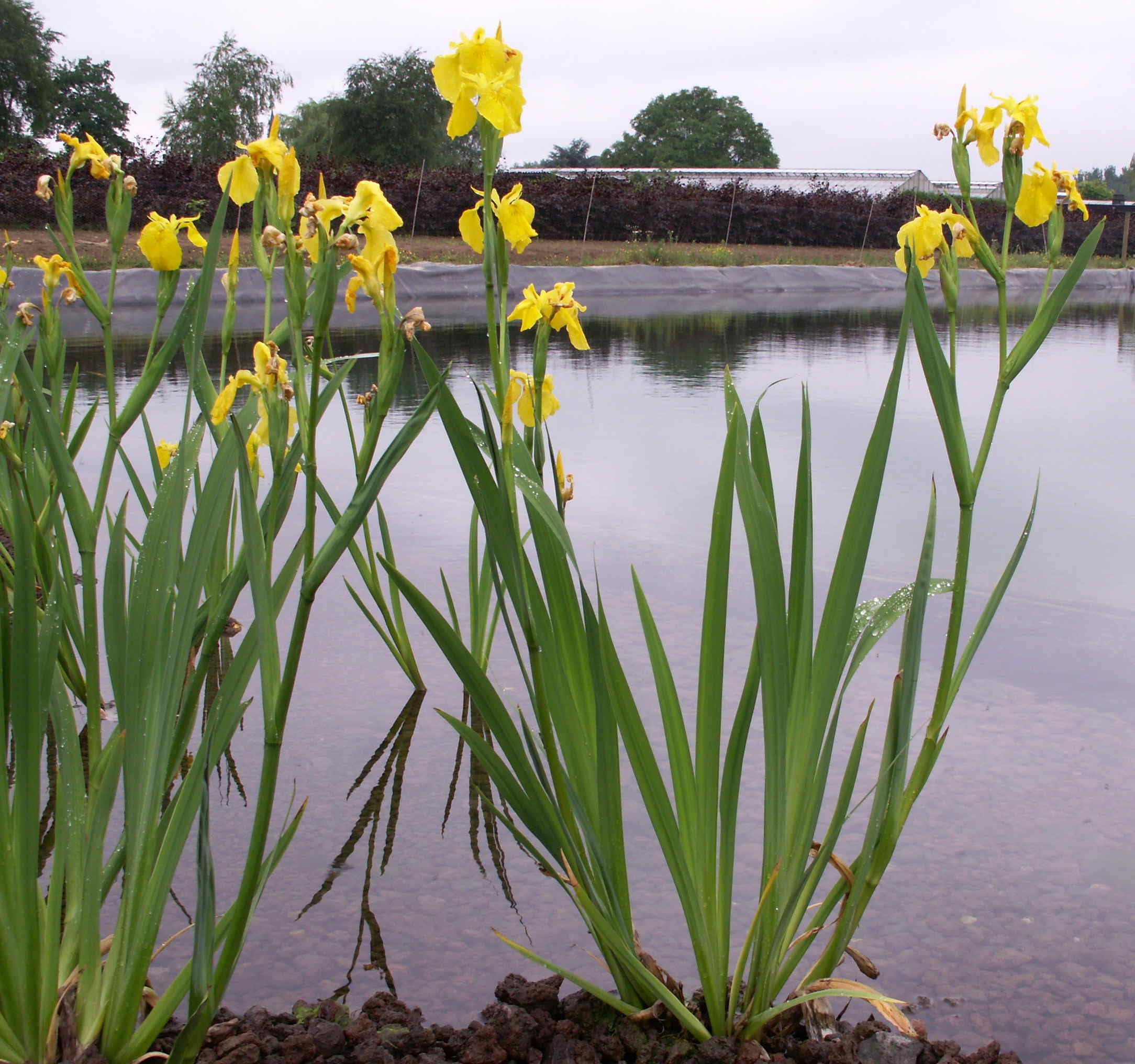 Flowering yellow iris iris for Plant nursery