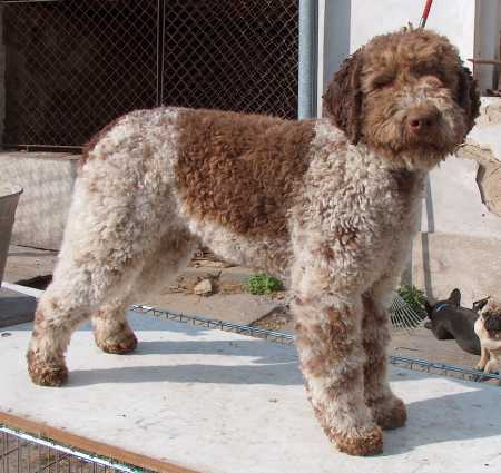 https://upload.wikimedia.org/wikipedia/commons/9/9f/Lagotto_Romagnolo.jpg