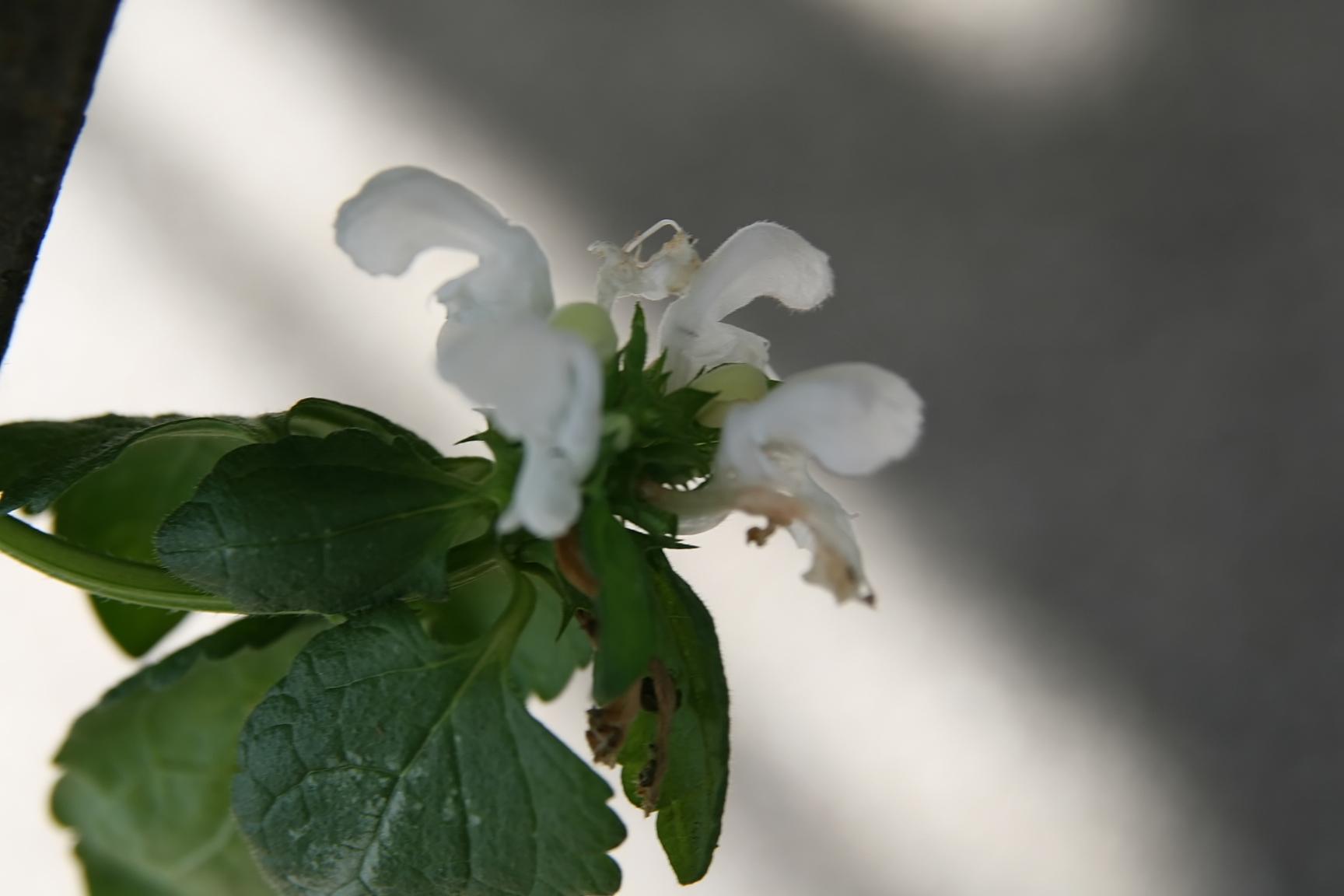 Filelamium Maculatum White Nancy 3zzg Wikimedia Commons