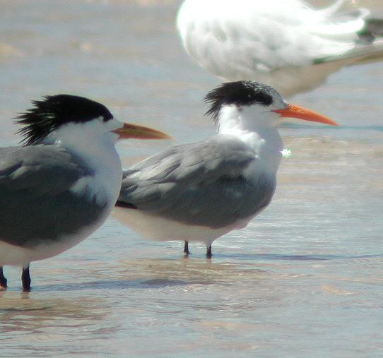 Ficheiro:Lesser-crested Tern bribie oct02.jpg