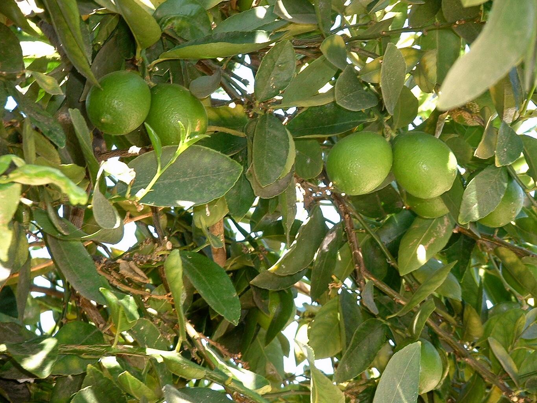 fruit trees lima fruit