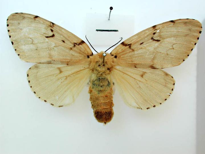 File:Lymantria dispar japonica female dorsal.jpg