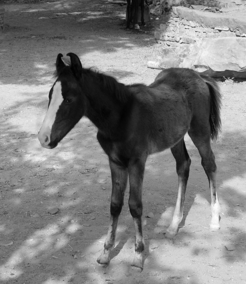 Buy Horse Marwari foal pictures pictures trends