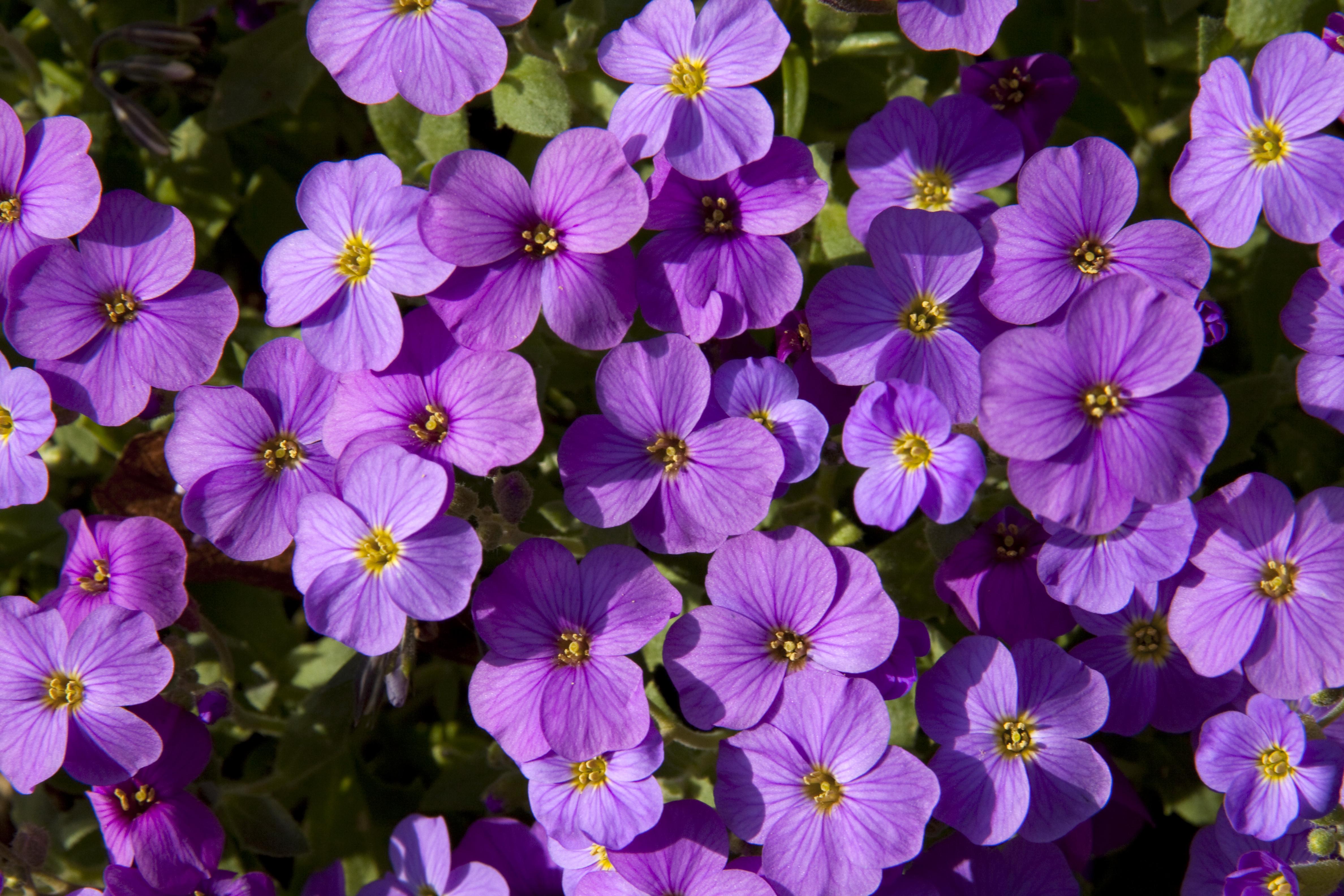File Mauve Flowers