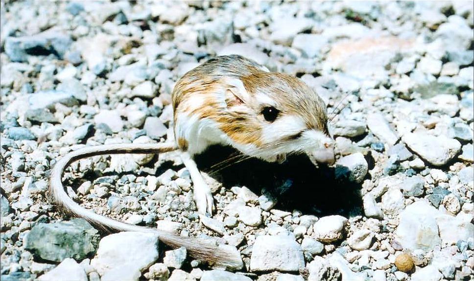 File Merriam S Kangaroo Rat Dipodomys Merriami Jpg Wikimedia Commons
