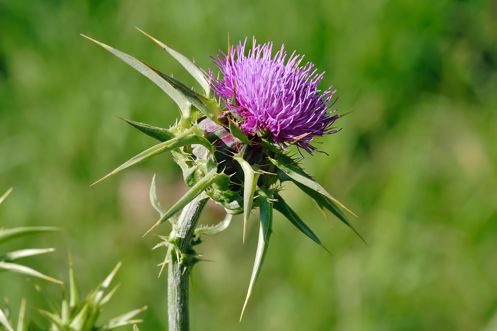 Milk thistle flowerhead - Happy St. Paddy's! Let's talk about your liver.