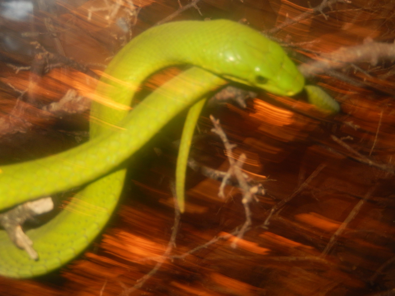 north american green snake, san antonio zoo dscn0681.jpg