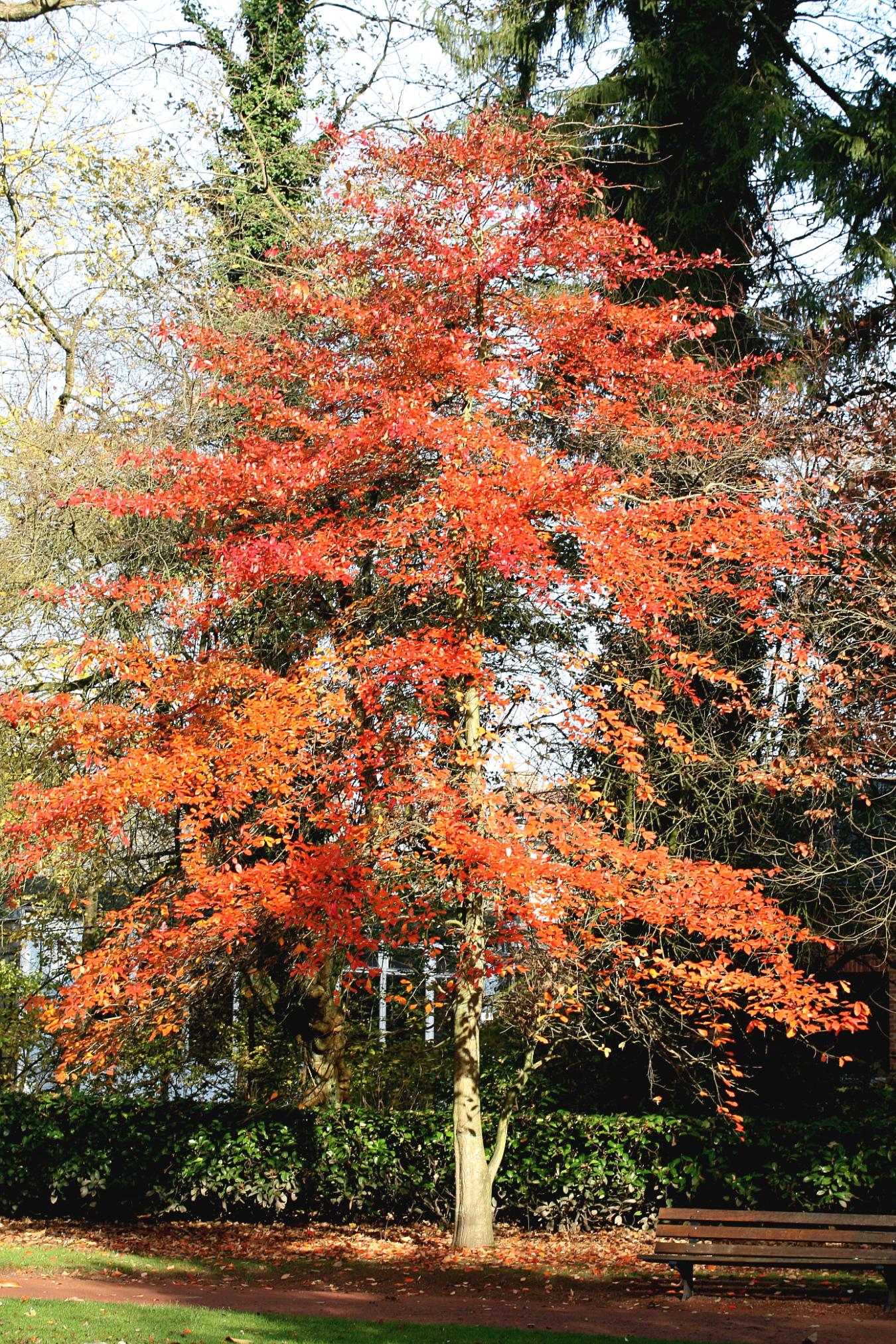 Image Result For Maple Leaf