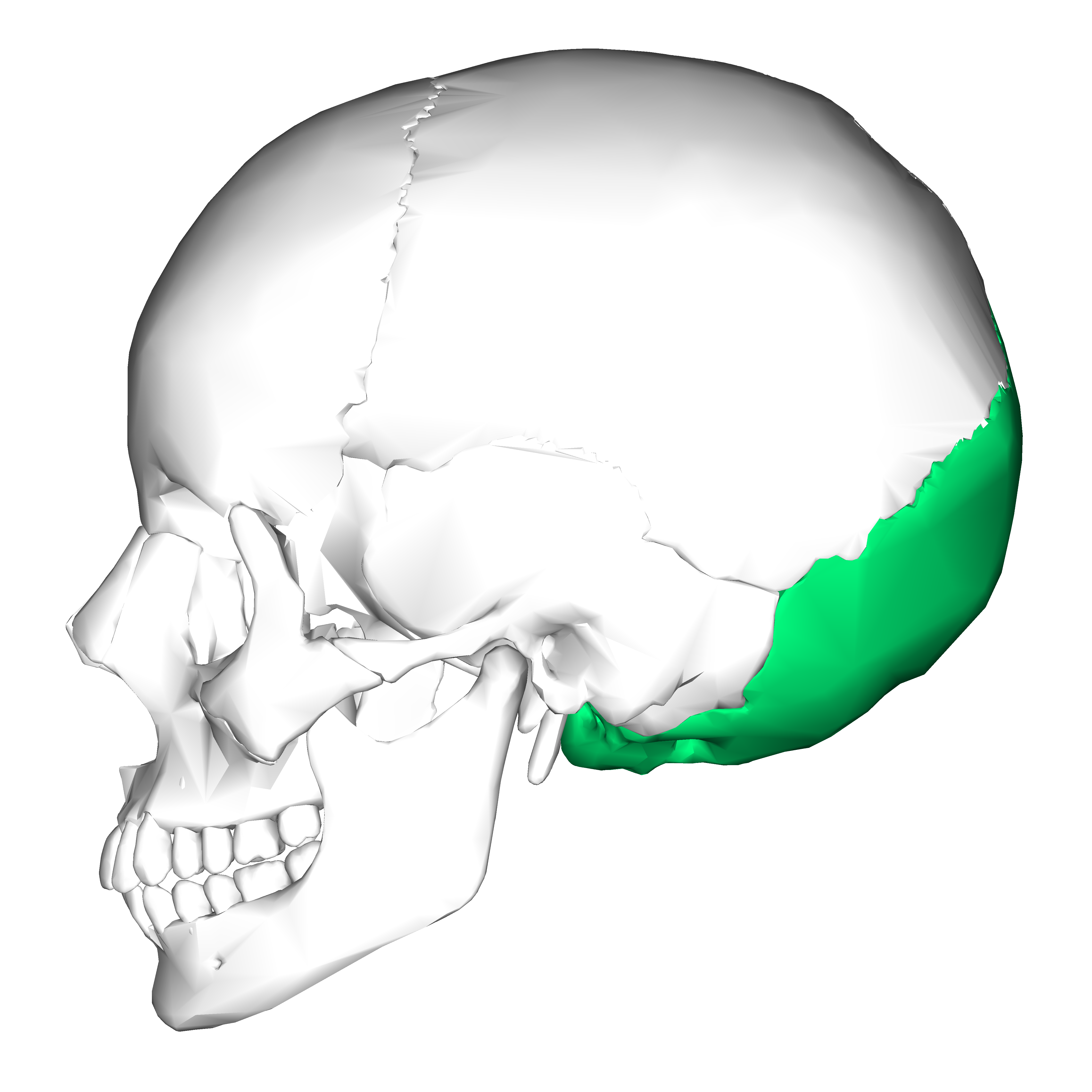 Depiction of Hueso occipital