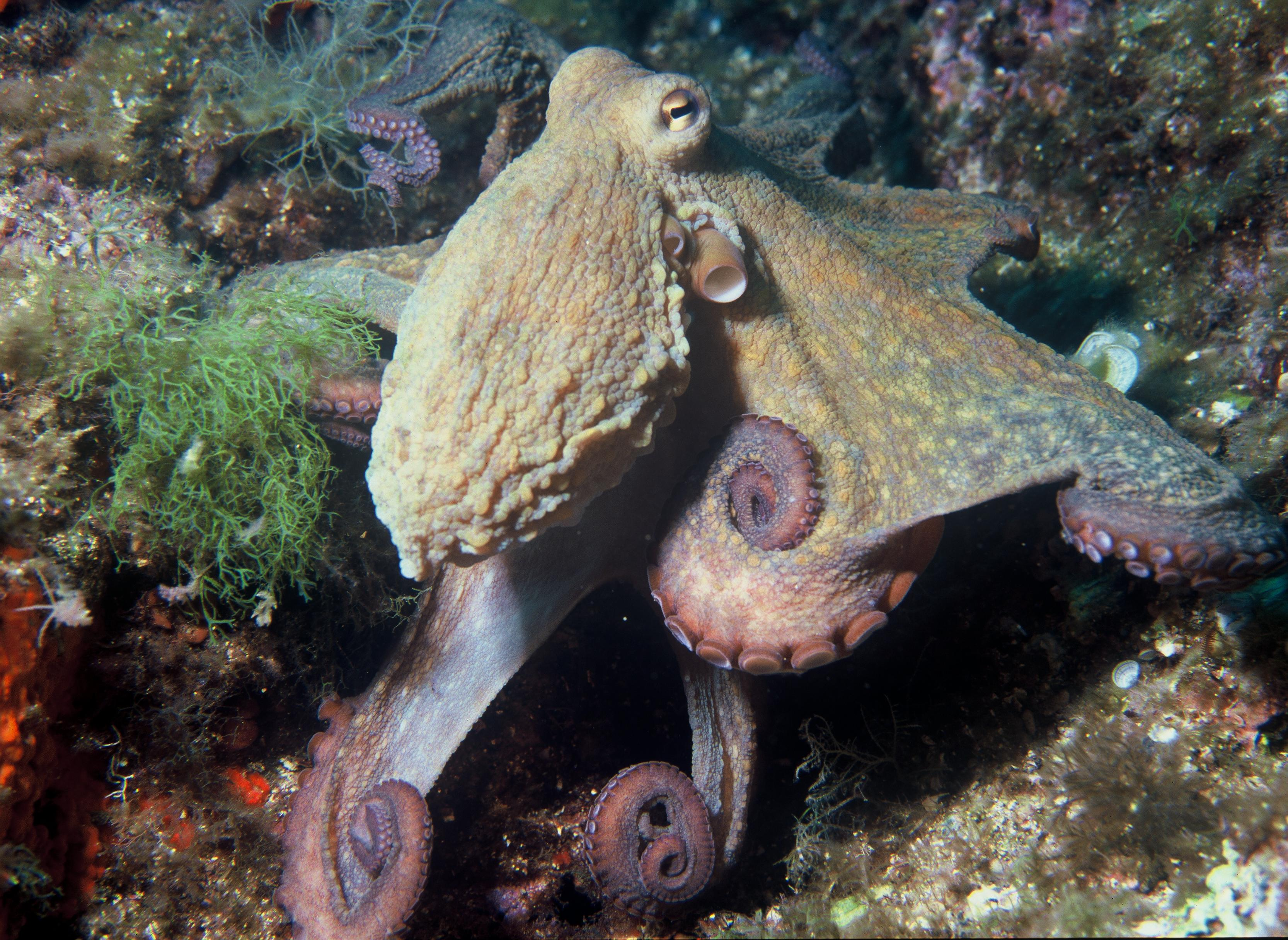 https://upload.wikimedia.org/wikipedia/commons/9/9f/Octopus_vulgaris_2.jpg
