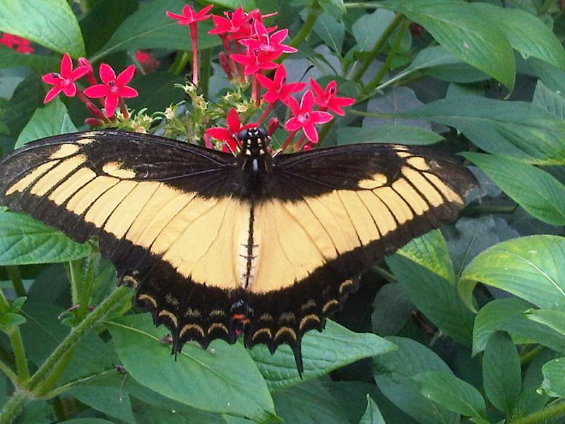 Sưu tập Bộ cánh vẩy 2 - Page 61 Papilio_androgeus3