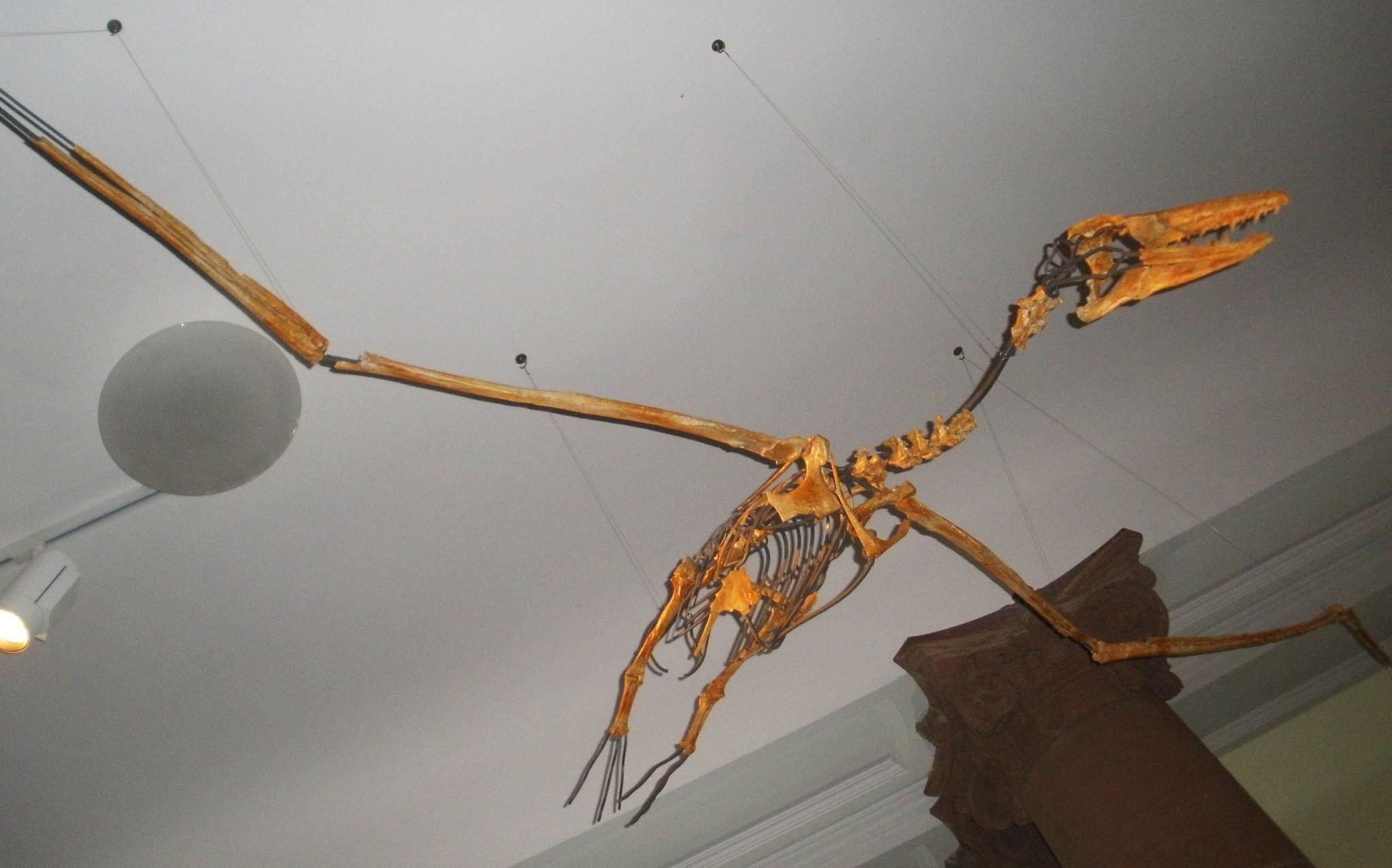 Argentavis Magnificens Skeleton