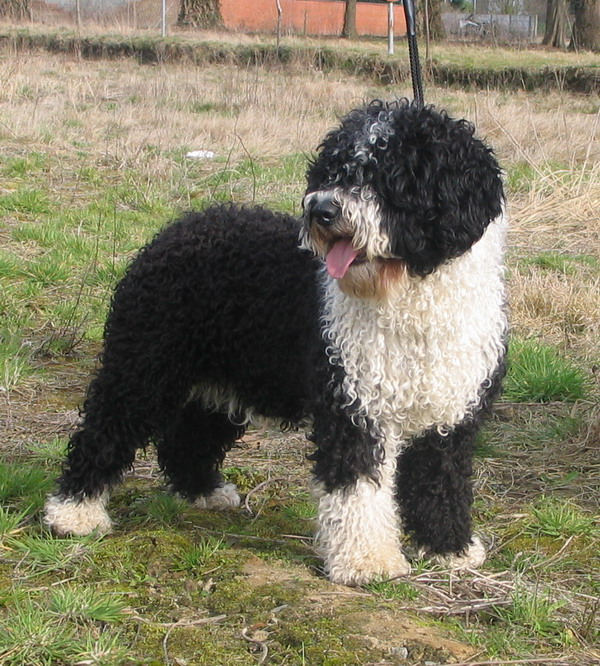 Spanish Water Dog Breeders Scotland Uk