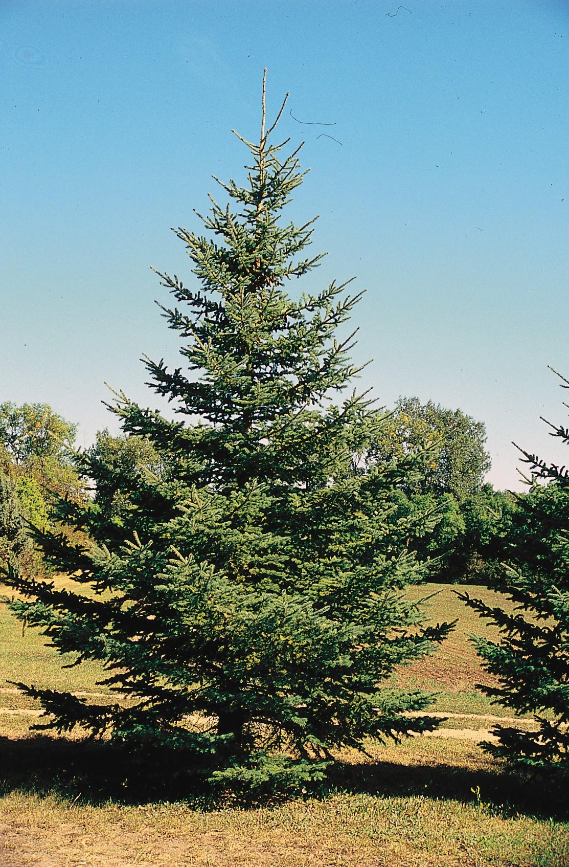 Picea Glauca Wikipedia