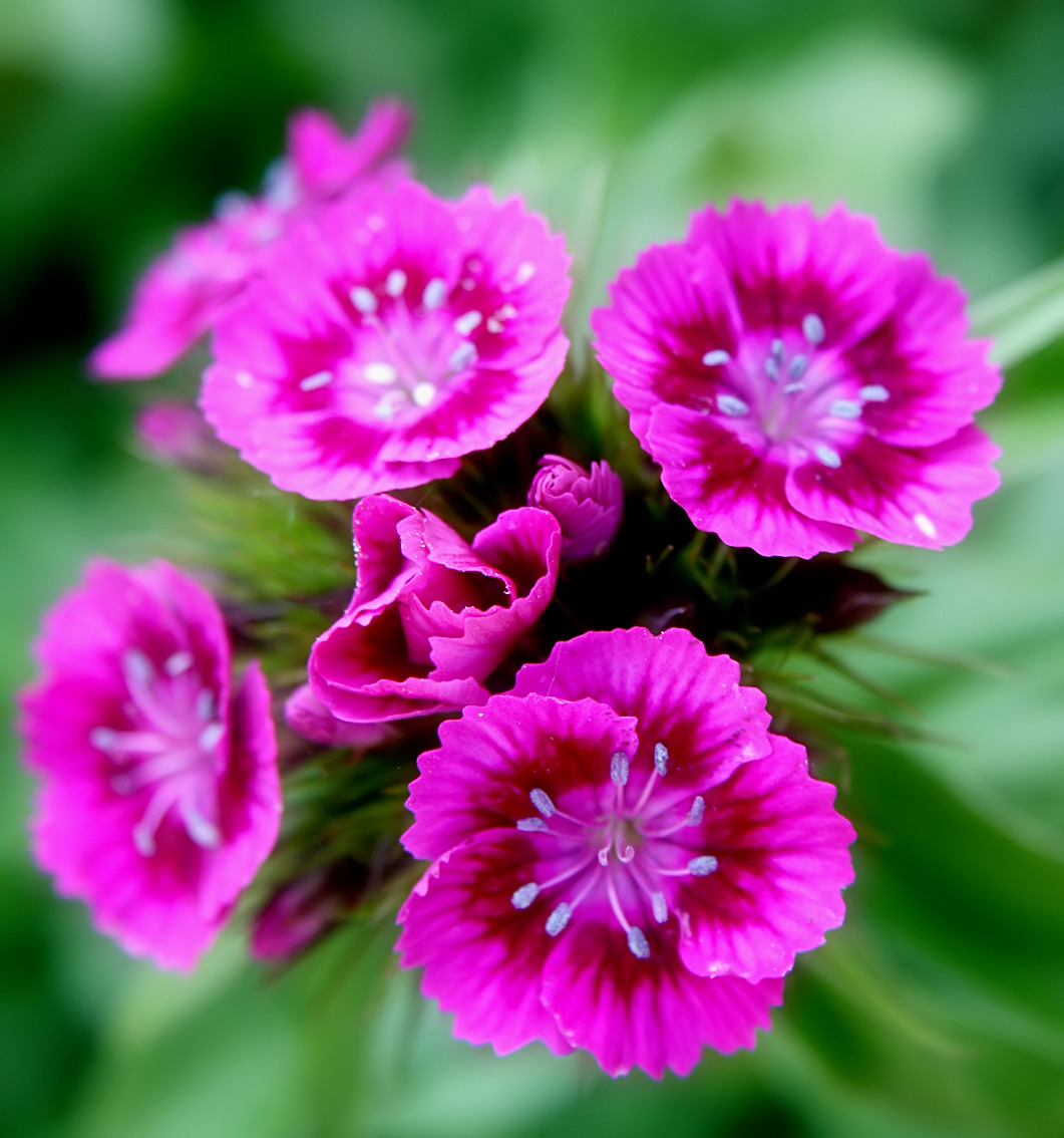 Description pink sweet william flowers