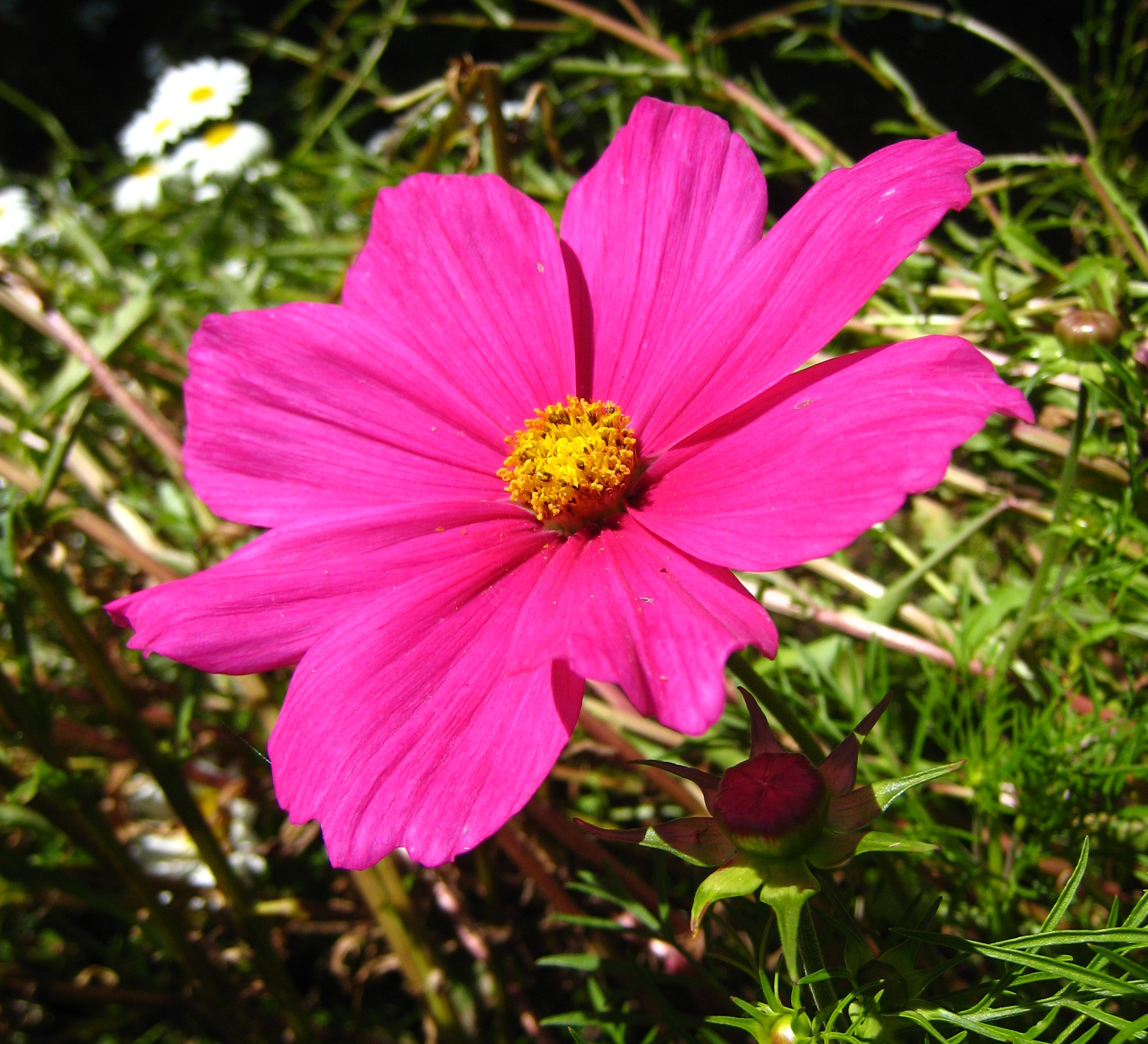Filepink Flower 01 Orcasg Wikimedia Commons