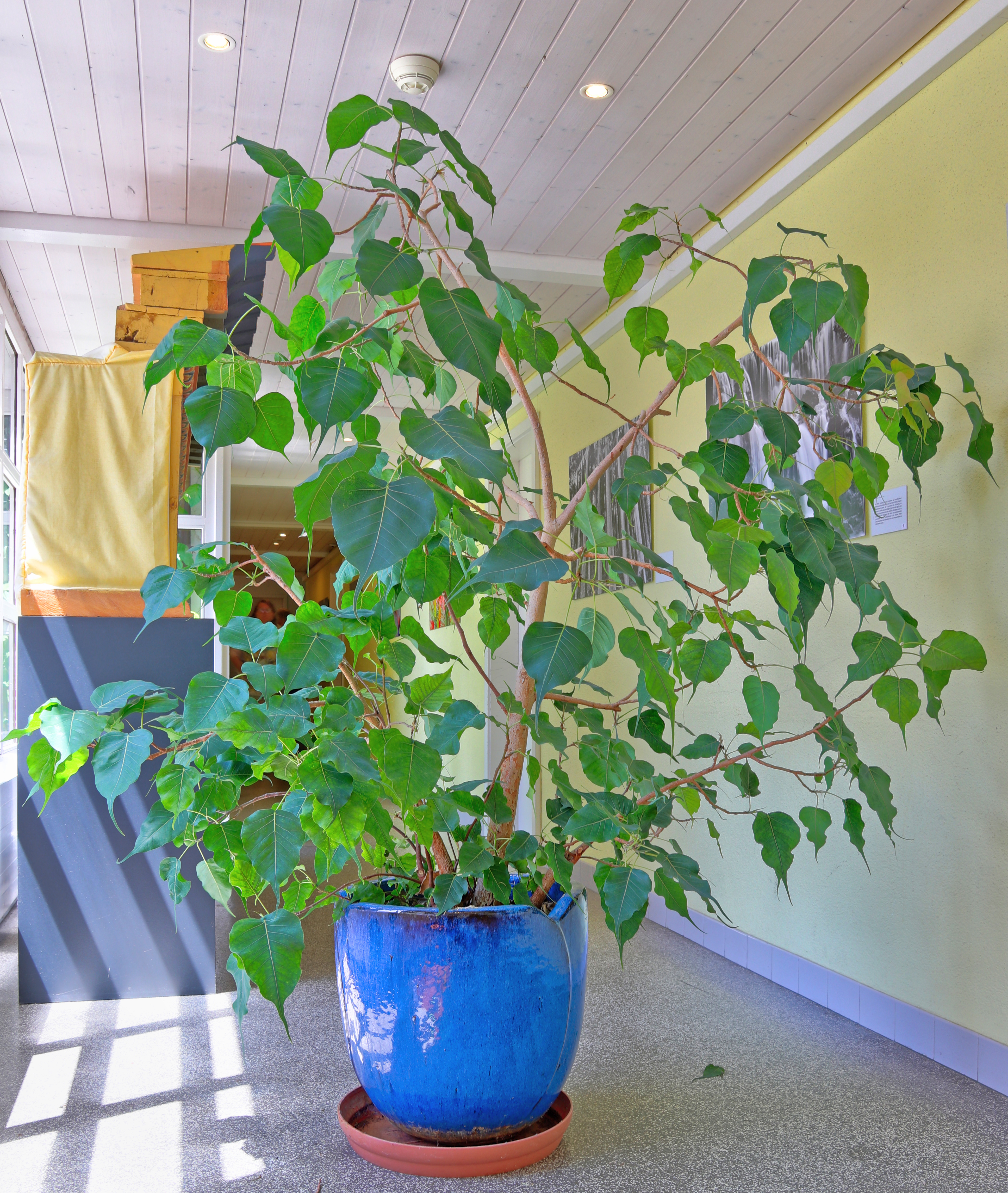 19+ FilePotted Ficus religiosa.jpg   Wikimedia Commons