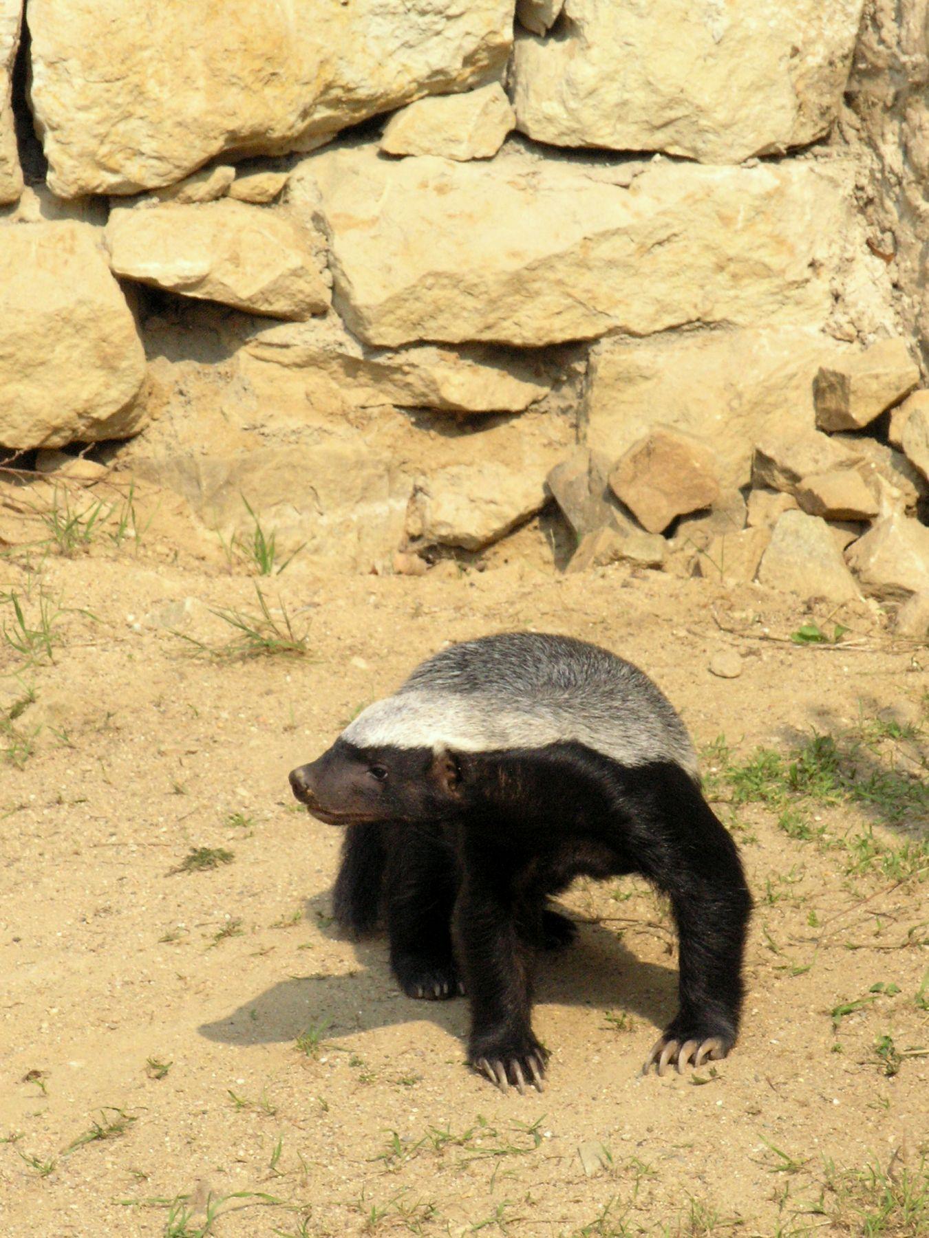 how to kill a honey badger