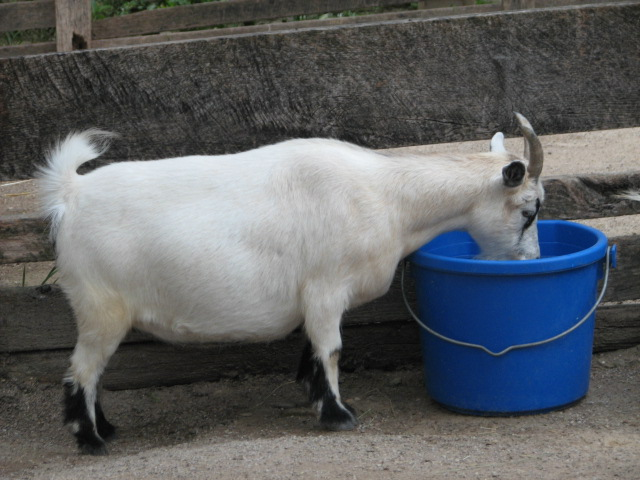 file pygmy goat drinking jpg wikimedia commons